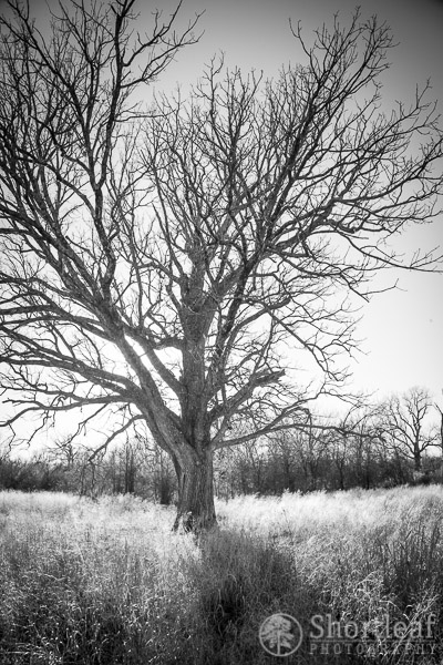 The Mighty Bur Oak