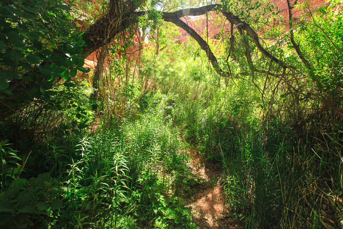 Some parts of the trail went through lush green thickets of willow and other water loving plants that aren't usually associated with the desert.