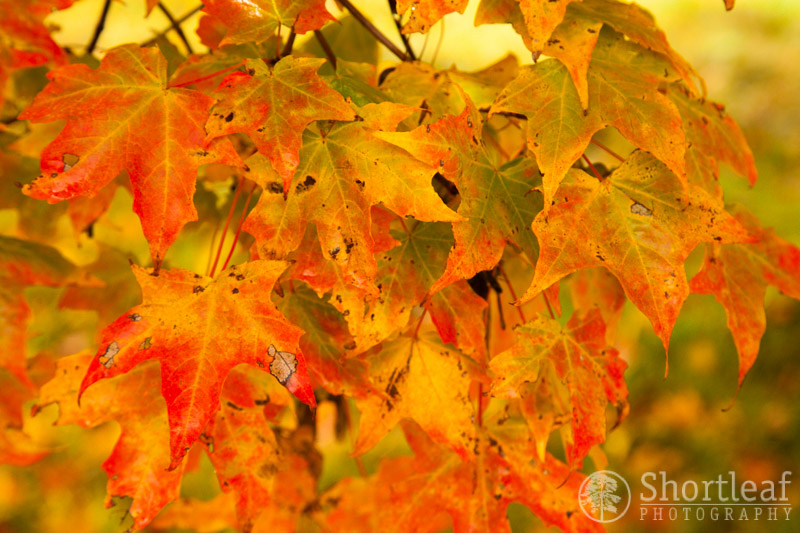 A close-up of the leaves on one of the trees in the driveway.  I like the variations showing the full spectrum of color between green and bright red.