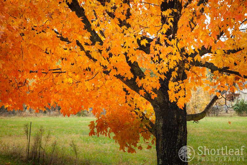 This tree was mostly bright orange, where the tree next to it was more red. I enjoy the variation in color between the trees of the same species.