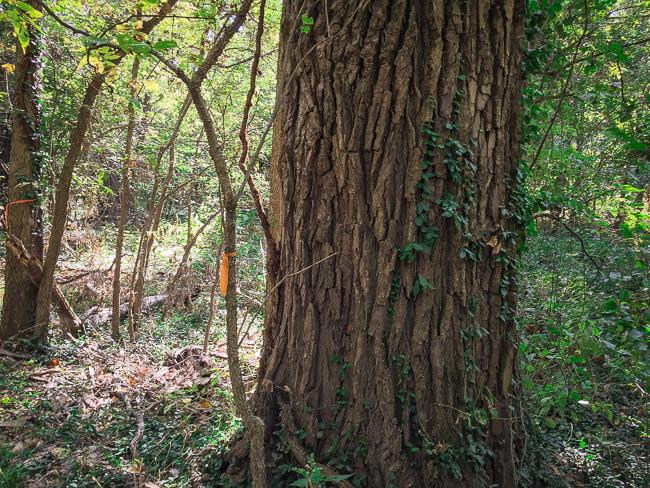 A huge Cottonwood tree at walnut bottoms carthage mo