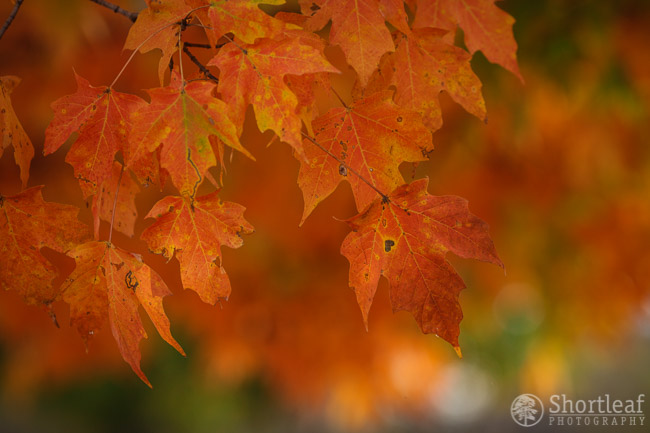 Once again, Sugar Maple leaves, these in the prime of their color display.