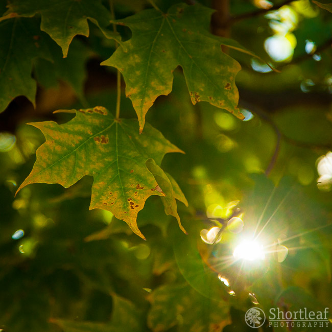 These Sugar Maple leaves are just starting to show some signs of fall around the edges.