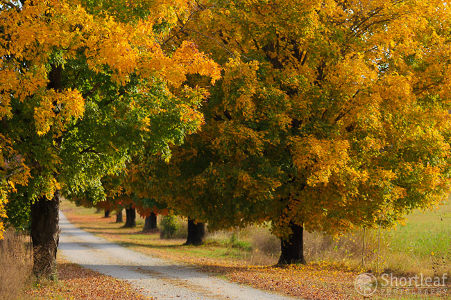 This row of trees never disappoints and usually keeps leaves and color well into November!